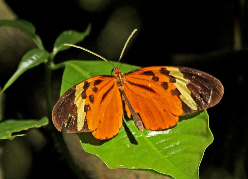 Melinaea menophilus