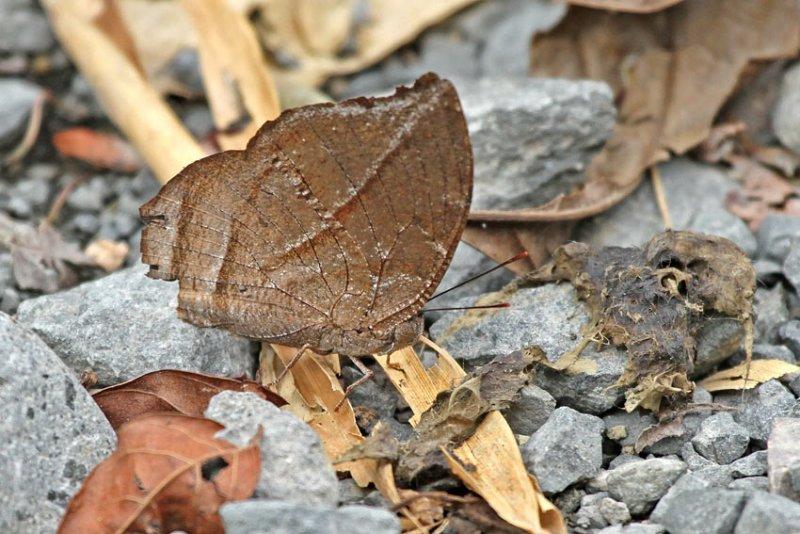 Butterfly-Sumaco-november12.jpg