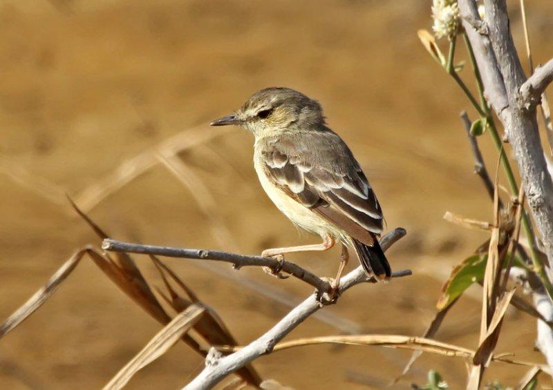 Short-tailed Field-Tyrant