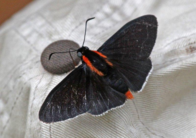 Pyrrhopyge papius