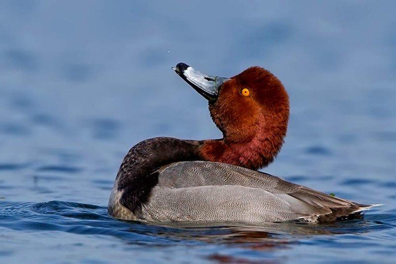 Red head duck