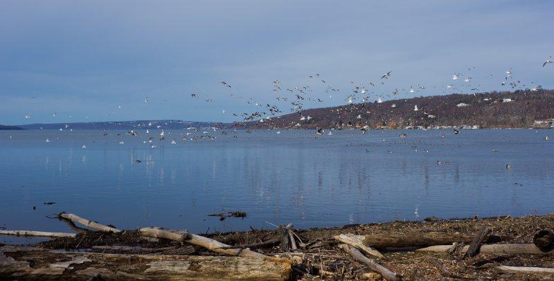 Geese, Gulls, & Ducks