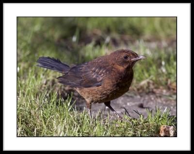 Blackbird (fledgling)