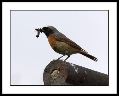 Redstart (male)