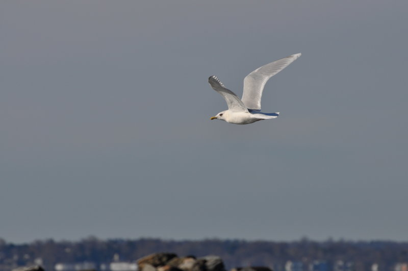 Iceland Gull-adult