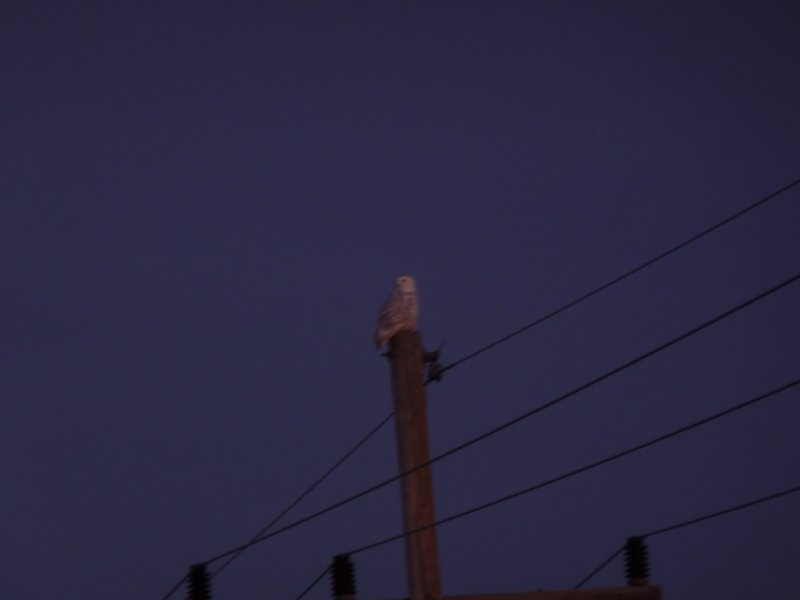 Snowy Owl-immature male