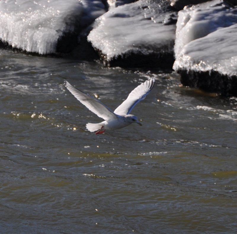 Thayers Gull-adult