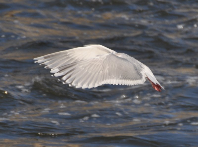 Thayers Gull-Upper and underwing pattern