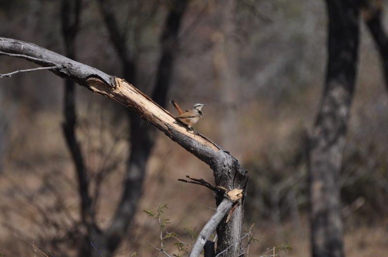 Kalahari Scrub-robin