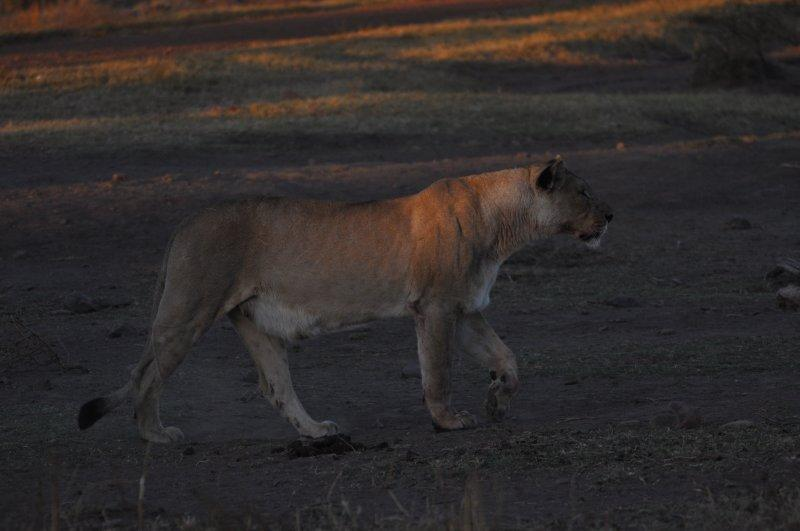 African Lion-guarding the kill