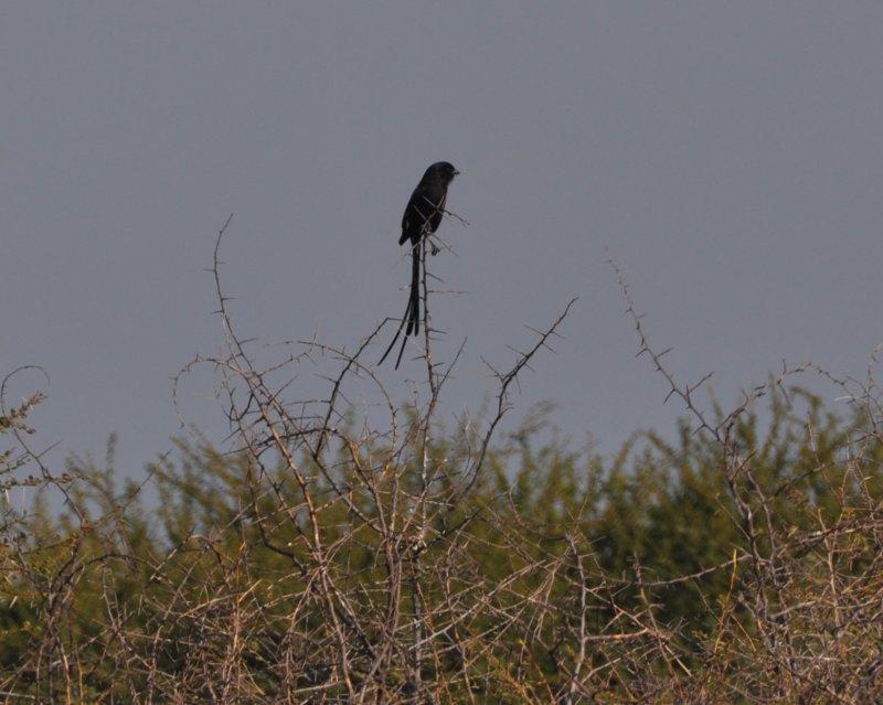Magpie Shrike.jpg