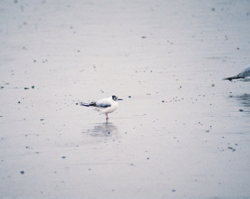 Little Gull in Rye, NH