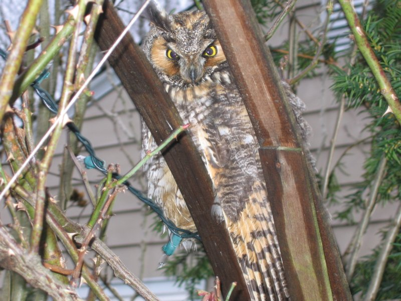 Long-eared Owl- Milford, CT