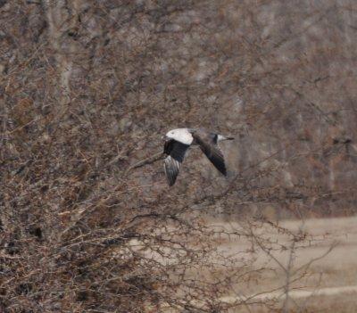 Lesser Black-backed Gull-2nd cycle