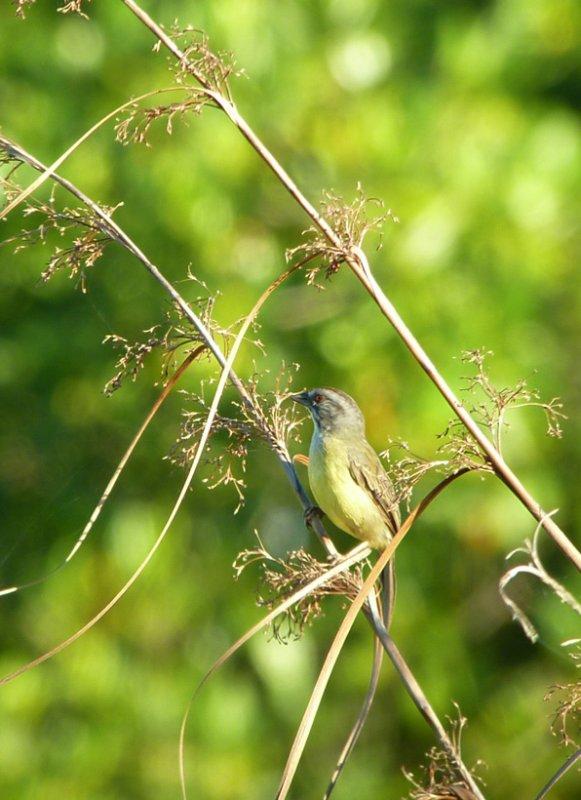 Zapata Sparrow