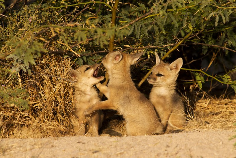 Indian Fox kits at den opening