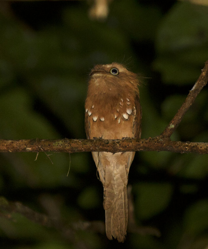 Blythes Frogmouth