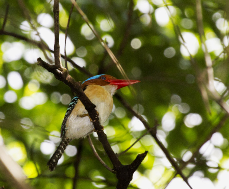 Banded Kingfisher, male