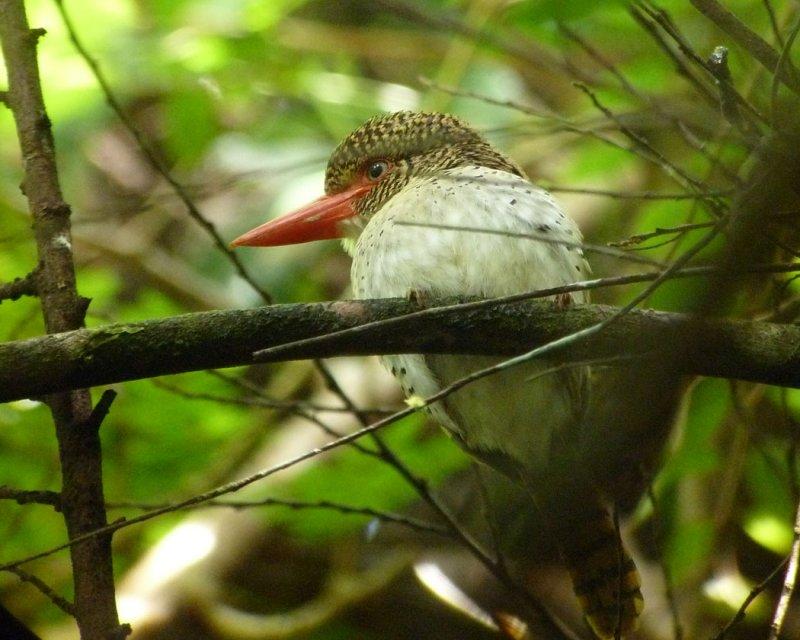 Banded Kingfisher, female.
