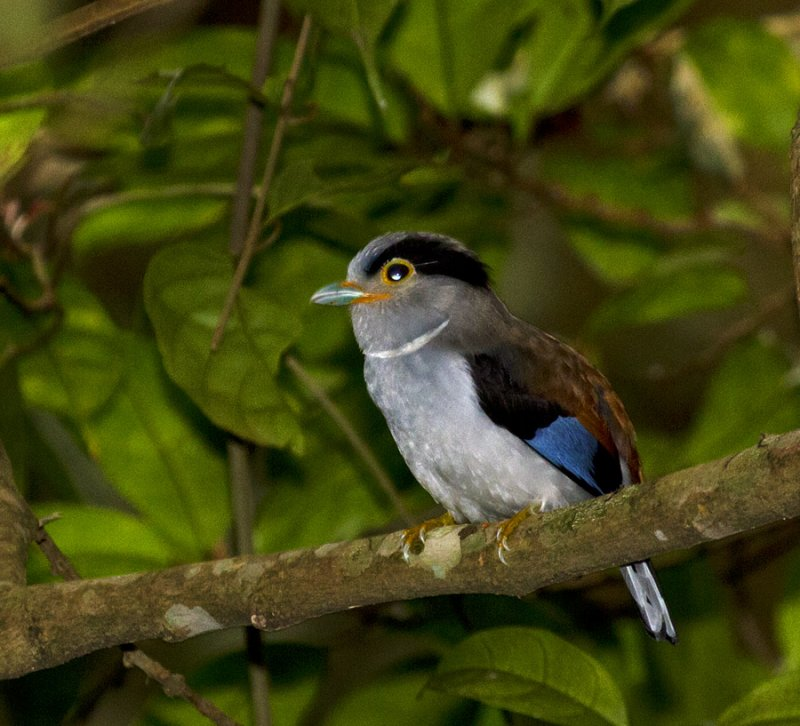 Silver-breasted Broadbill, female