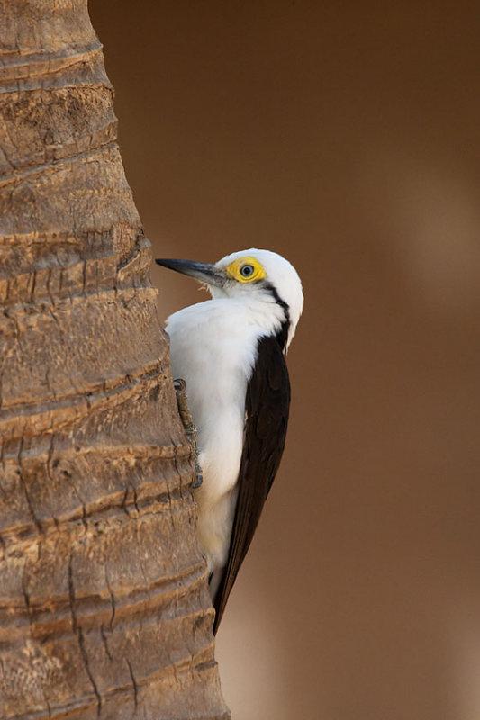 White Woodpecker