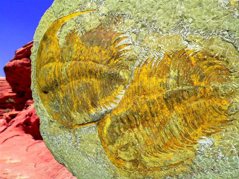 80 Million Year Old Trylobyte Stoned Fossils