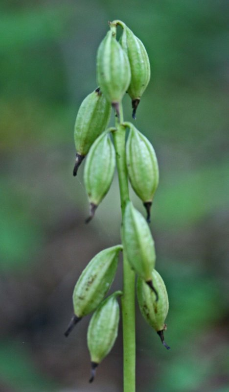 Applectrum Orchid Seed Pods Late Summer Mtns v tb0911pdr.jpg