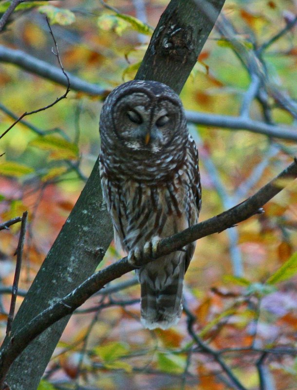 Woodland Barred Owl Cat-Napping in Autumn Forest v tb1010dhr.jpg