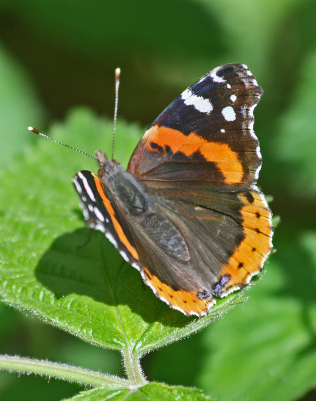 Red Admiral Butterfly Alit on Sunny Greenery v tb0412dsr.jpg