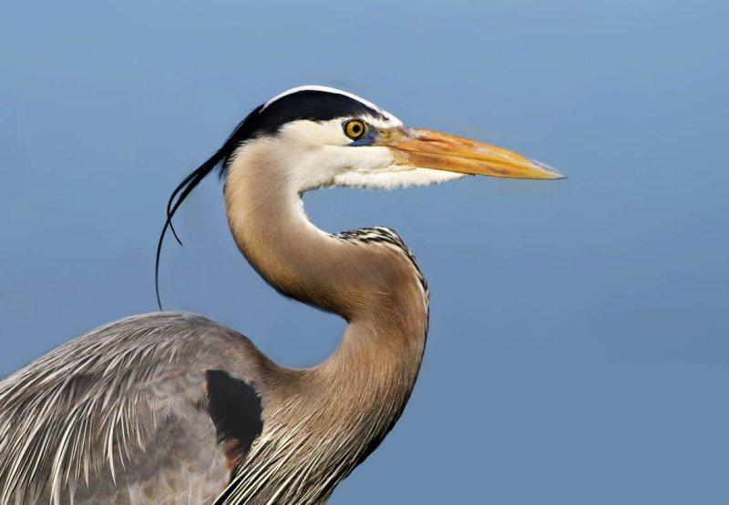 Great Blue Heron, Alviso
