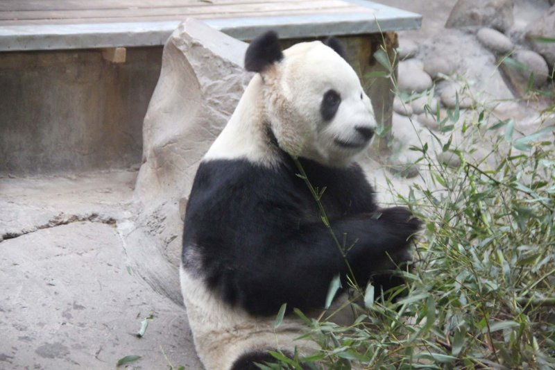Another handsome panda. They are an endangered species.