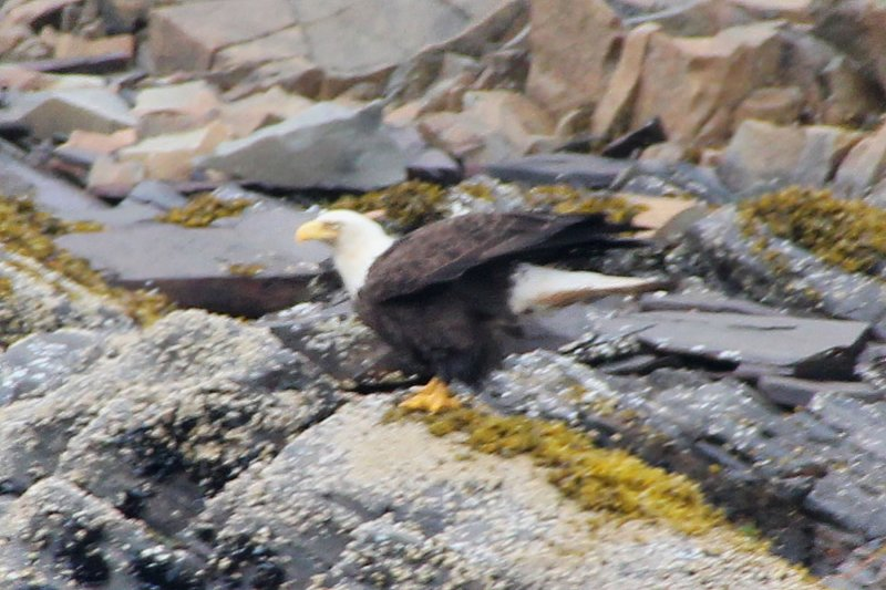 Even better, we saw this bald eagle about to take off from the shoreline.