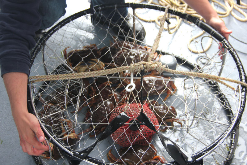 Close-up of the crab trap and crabs.