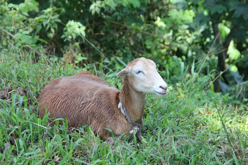 A contented-looking lamb that we passed along the road in Tobago.