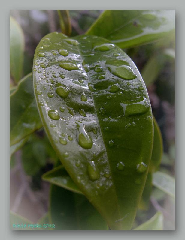 wet leaf 3 wf.jpg