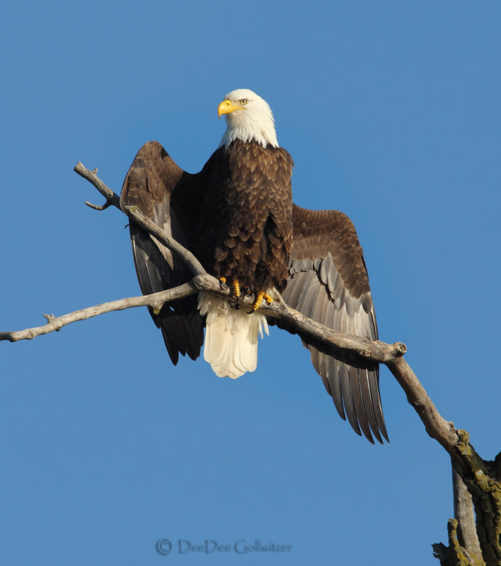 Bald Eagle Drying Wings After Catching a Fish