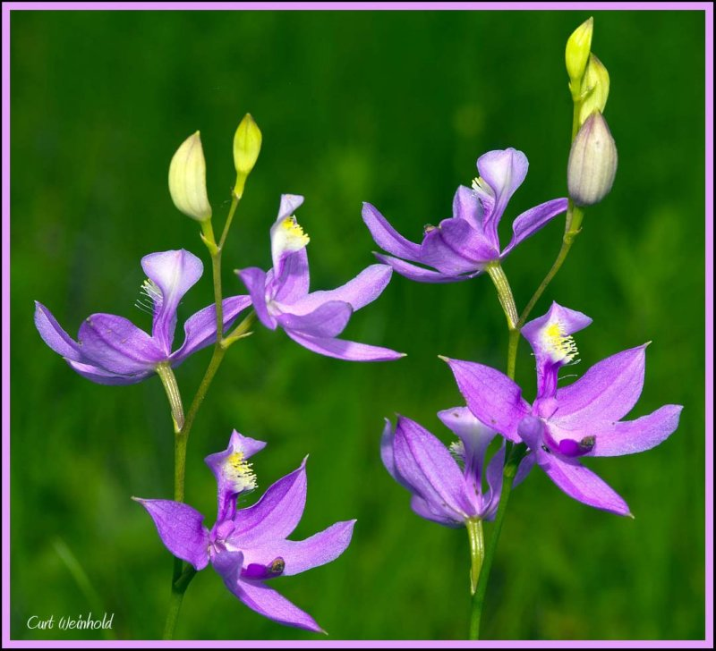 Calopodon orchid