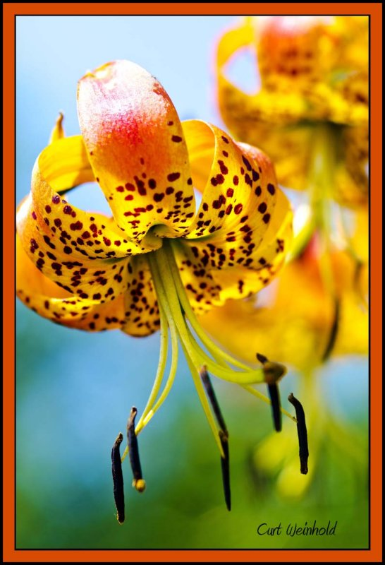 Turks-Cap Lily