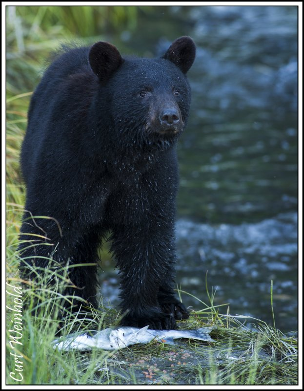Alaskan Black Bear w/ salmon