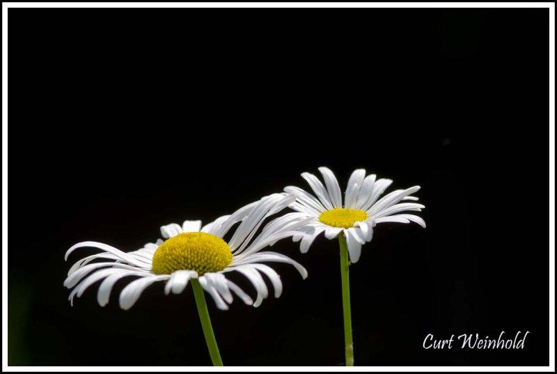 Daisies, the edge of light.