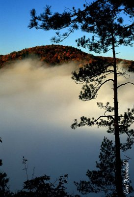 Morning fog accentuates pine tree.