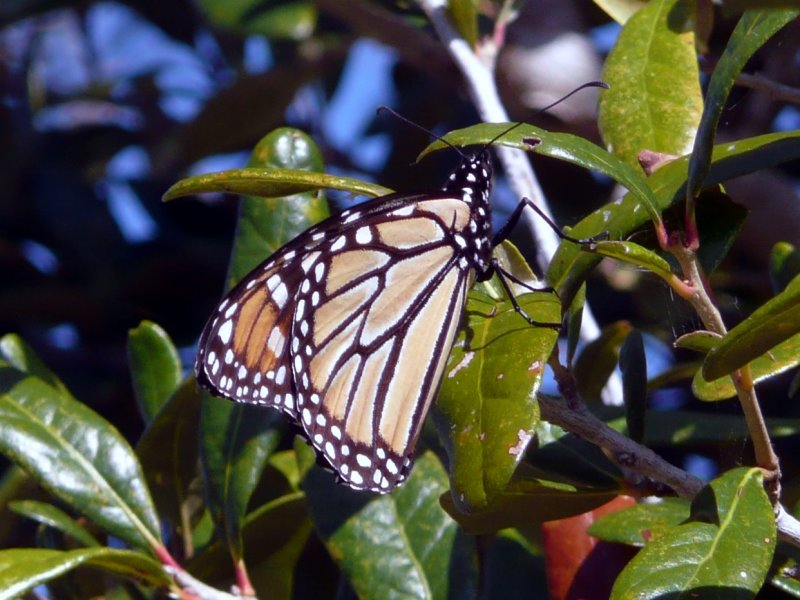 HDR Image, Monarch