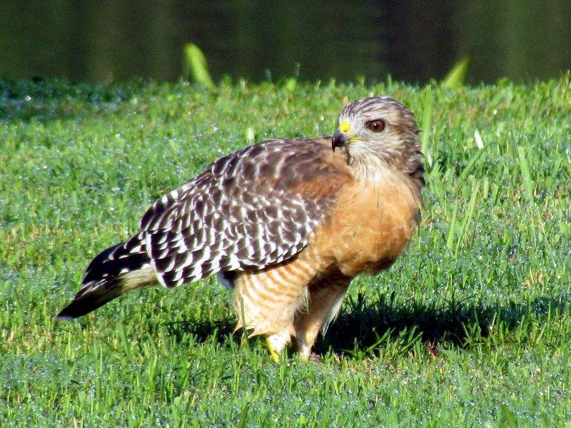 Red-shouldered Hawk .jpg