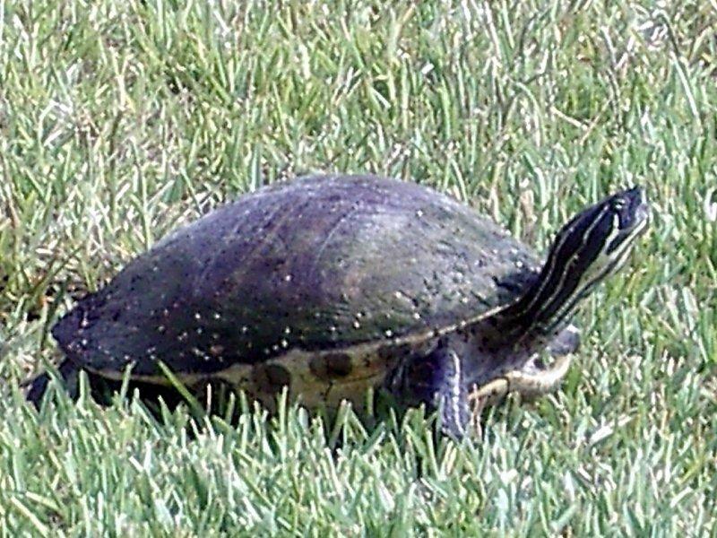 78 Tortoise.JPG