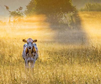 Curious Cow 20120824
