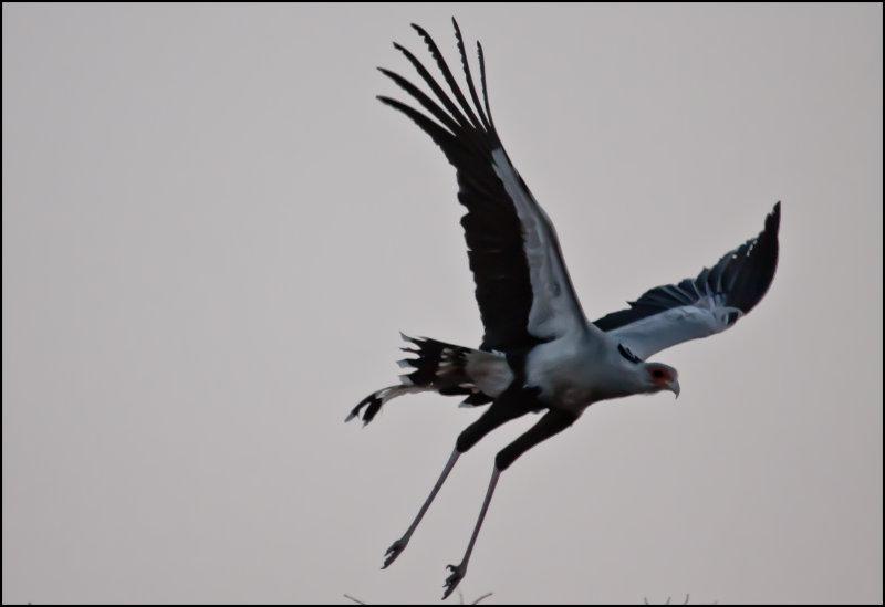 Secretary bird_1190