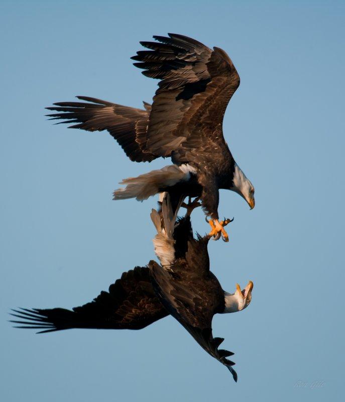 Eagles Mating Ceremony lr-0495.jpg