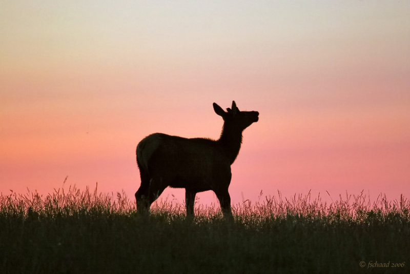 Elk at Dawn
