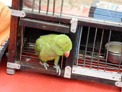 At a fortune teller in Nagercoil, Tamil Nadu. The parrot and its cage.