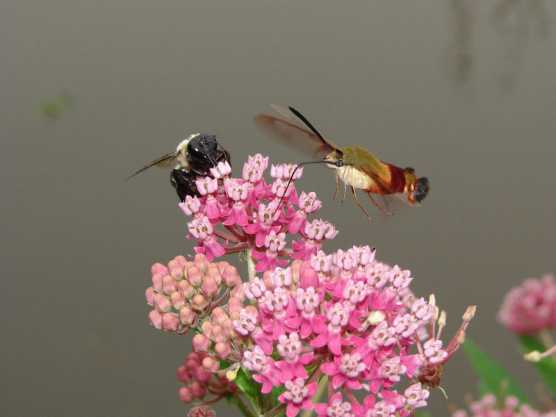hummingbird moth ks-807 084.jpg